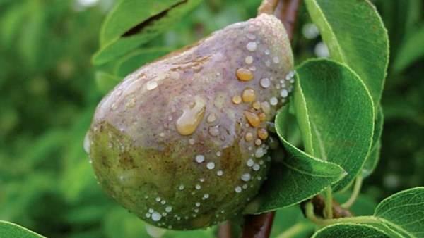 Груша: все болезни листьев и способы их лечения. чем обрабатывать грушу от болезней: химией или натуральными средствами