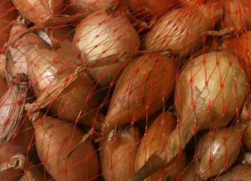 Полезные свойства лука бамбергера, технология выращивания