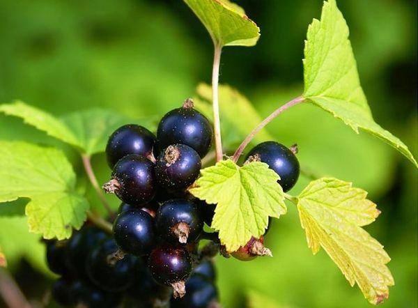 Обзор лучших сортов черной, красной, белой и зеленой смородины