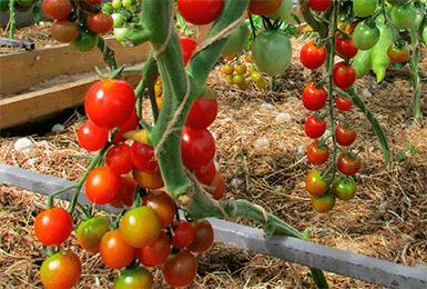 Фото, отзывы, описание, характеристика, урожайность гибрида томата «свит черри f1»