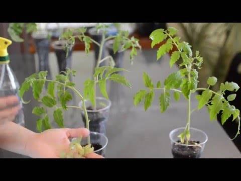 Почему не прорастают семена и медленно растет рассада помидор – разбираемся в причинах