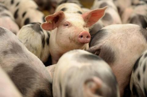 Виды корма для свиней