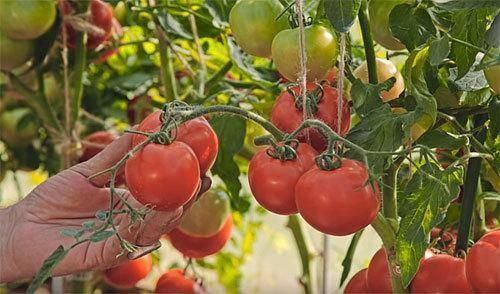 «любаша»: описание гибрида томатов ультрараннего срока созревания