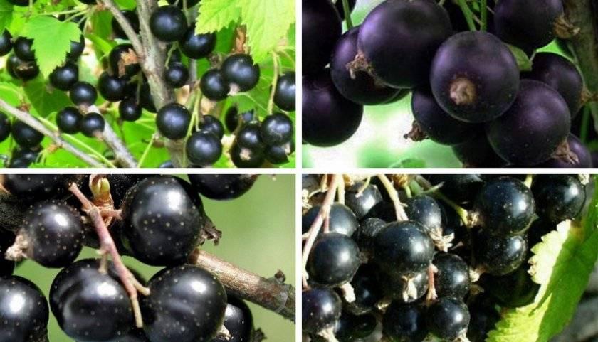 Черная смородина геркулес (геракл): описание сорта, фото