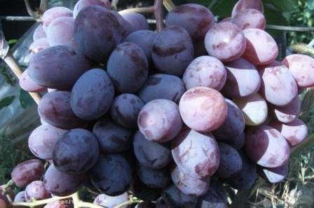 Жемчуг саба — столовые сорта винограда