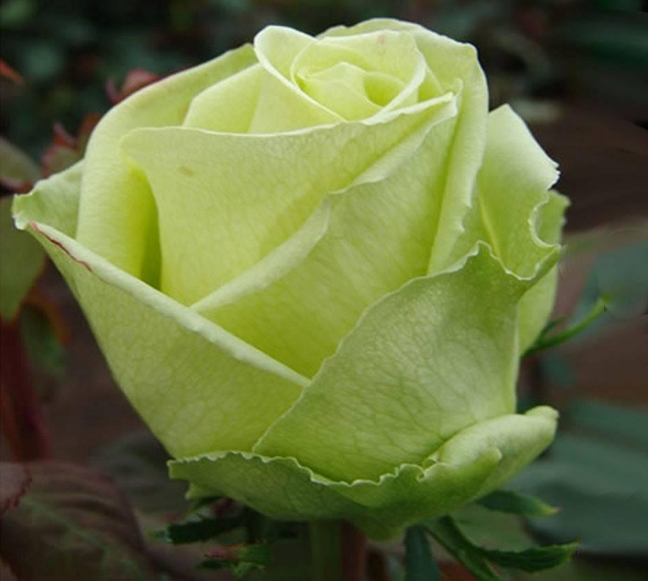 Роза сим салабим (simsalabim) — описание чайно-гибридного сорта