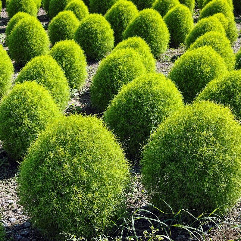 Кохия: выращивание из семян. когда сажать?