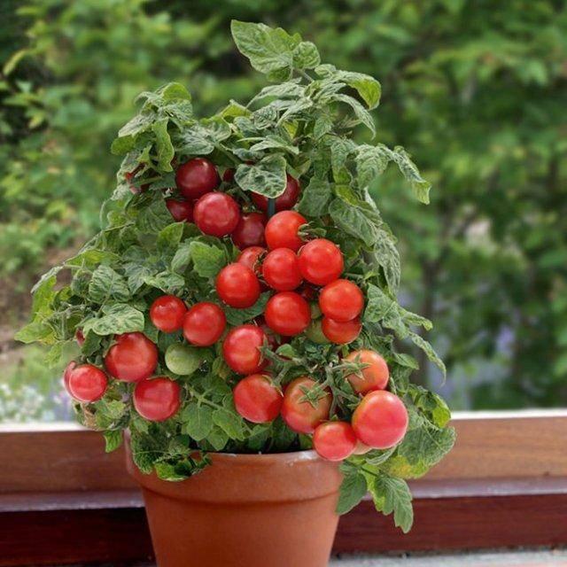 Характеристика и описание сорта томата Пиноккио, выращивание и урожайность