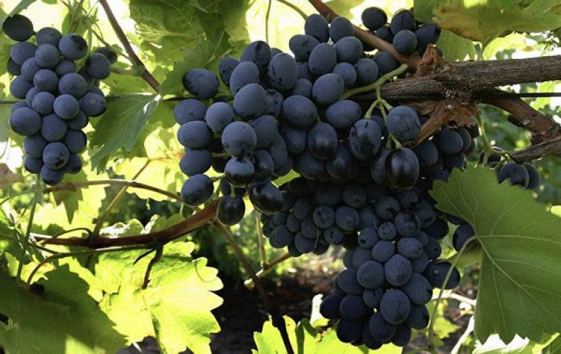 Виноград зилга: описание сорта и советы по выращиванию