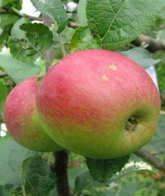 Яблоня сорта «коричное полосатое»: описание, фотографии и отзывы