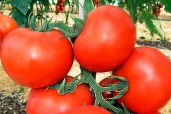 Томат тарпан описание сорта характеристика выращивание отзывы фото