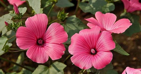 Лаватера: выращивание из семян в саду