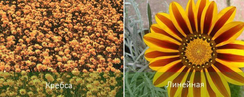 Гацания выращивание и уход зимой. особенности зимнего хранения гацании в домашних условиях
