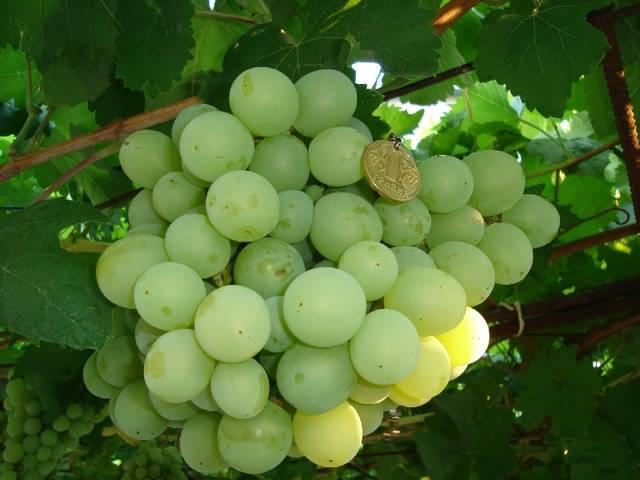 Виноград низина. характеристики и описание. посадка и уход