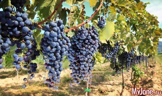 Виноград «алекса»: особенности сорта и правила посадки