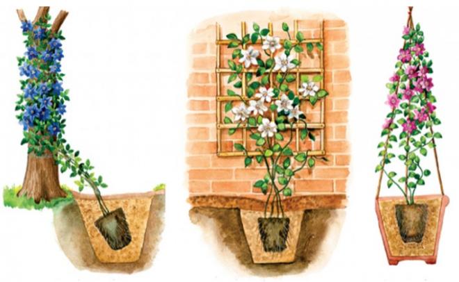Как посадить клематис