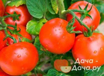 Томат верное сердце: 7 особенностей сорта, выращивание и уход за рассадой
