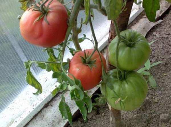 Сахар красный — сладкий томат для теплицы и сада. описание и отзывы о сорте