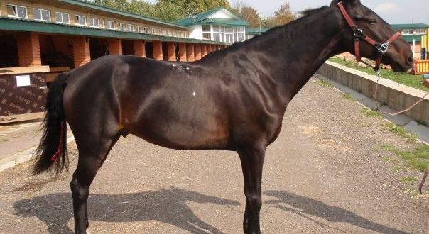 Описание и характеристики кабардинской породы лошадей и правила содержания