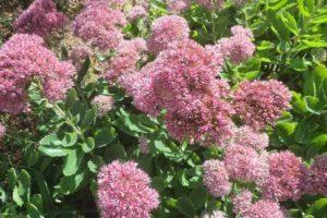 Тунбергия - посадка и уход в саду