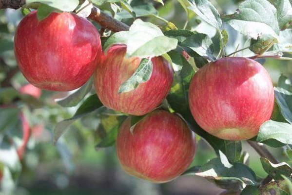 Яблоня кальвиль снежный — описание сорта, фото, отзывы