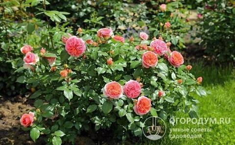 Описание и отзывы о розе парковой чиппендейл