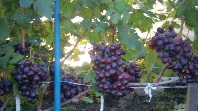 Ранний сорт винограда заря несвятая