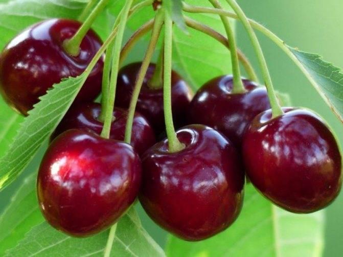 Описание и разновидности вишни сорта железистая, посадка и уход