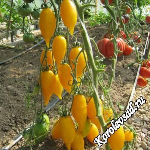Вкусные плоды от неизвестного селекционера — томат микадо золотой: подробное описание сорта