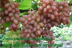 Описание винограда сорта Кишмиш черный, выращивание и разновидности