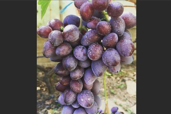 Описание винограда коринка русская: характеристики, фото, отзывы садоводов