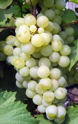 Такой разный виноград жемчуг: розовый, белый, черный и сабо