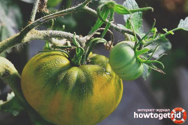 Описание сорта томата Ирландский ликер и его характеристики