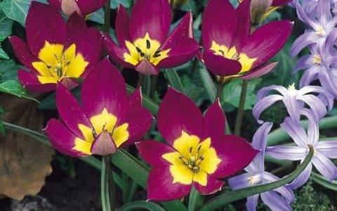 Многоцветковые тюльпаны – популярные сорта с фото