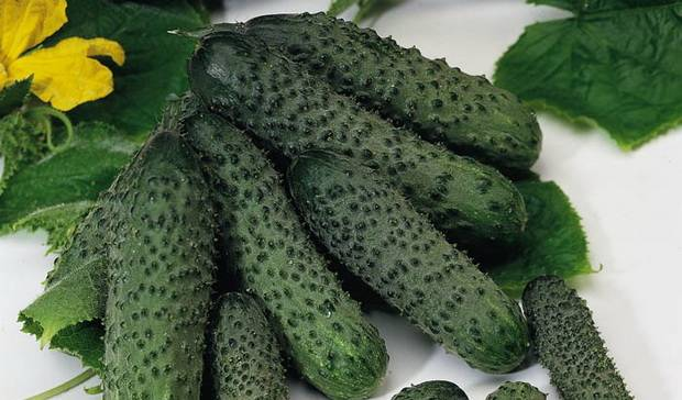 Описание сорта огурца Пасалимо, его характеристика и урожайность