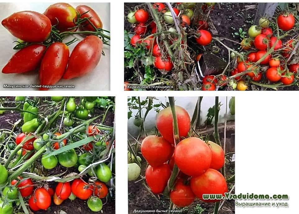 Описание и выращивание томата лотарингская красавица