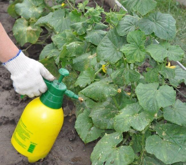 Советы опытных овощеводов по выращиванию огурцов в парнике