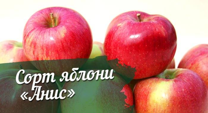 Яблоня экранное: особенности сорта и ухода