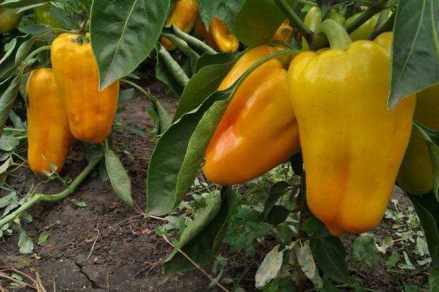 Перец красный бык: описание и характеристика сорта, урожайность с фото