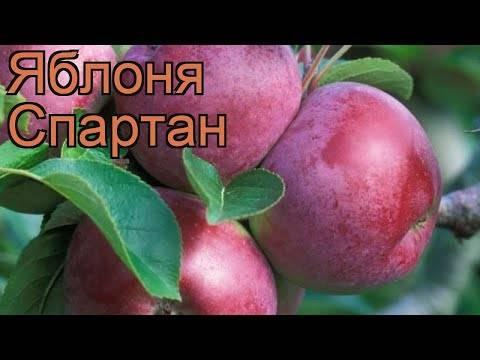 Обилие урожая и прекрасный вкус демонстрирует яблоня избранница