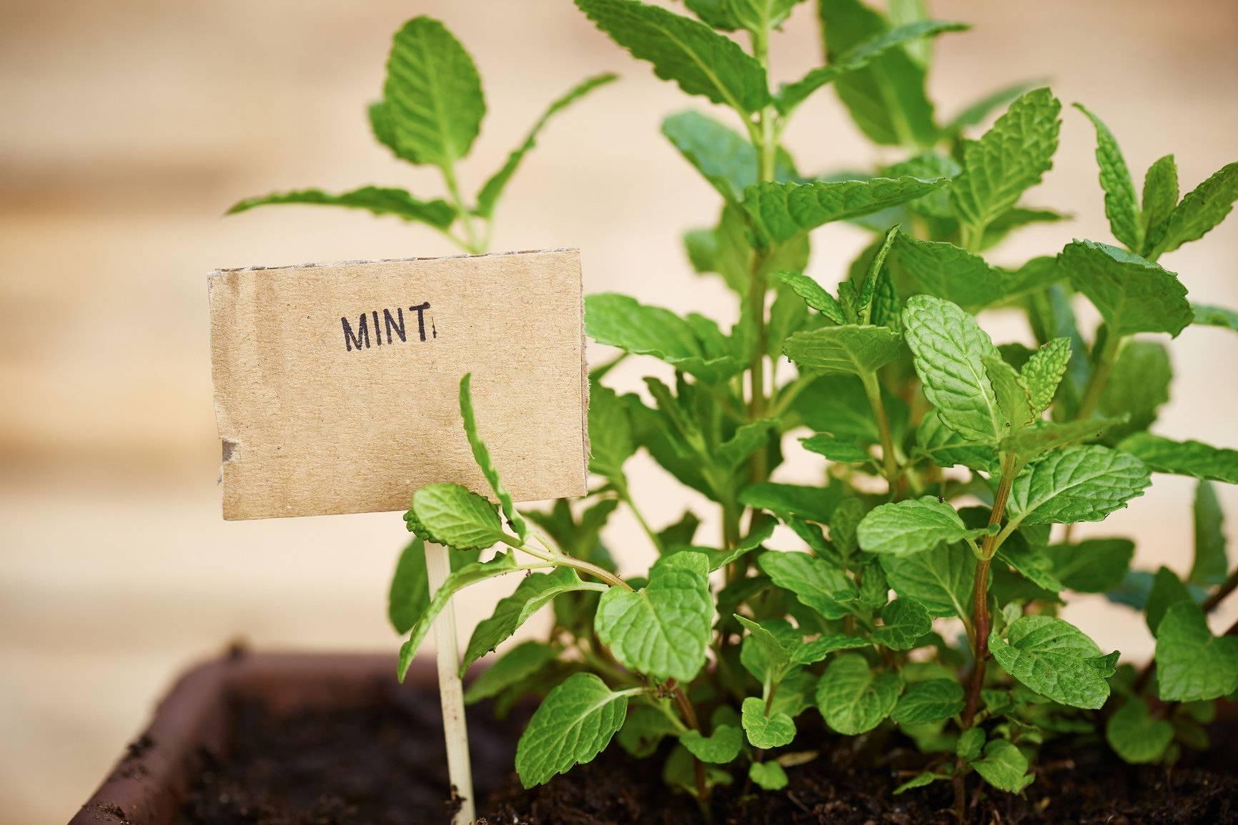 Сорта мяты и их особенности