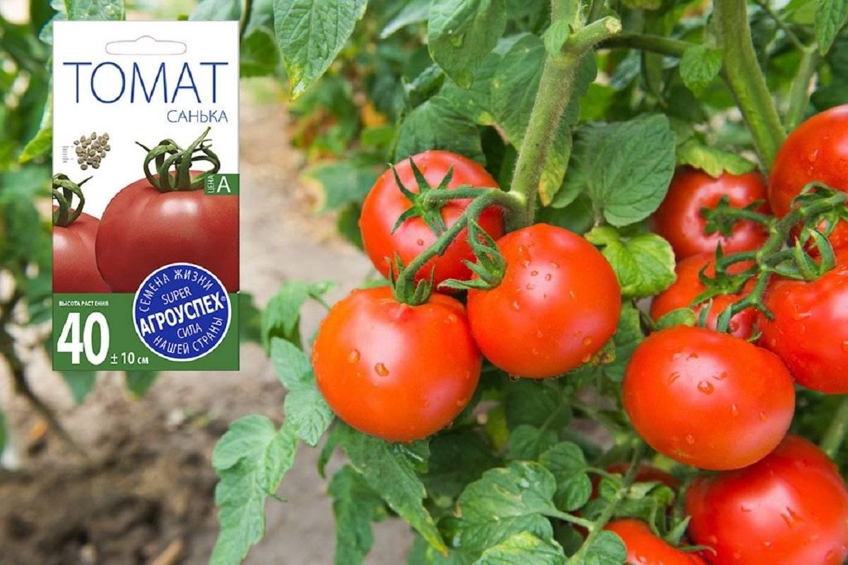Томат санька: посадка, уход и урожайность сорта. описание вкуса и особенности ухода за помидором