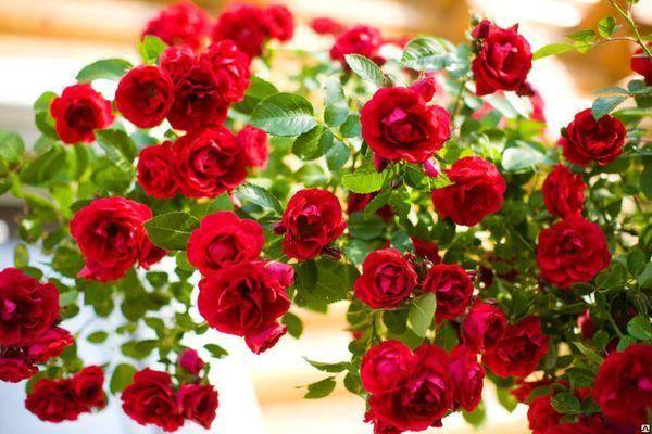 Описание розы сорта фламентанц, посадка и уход, укрытие на зиму
