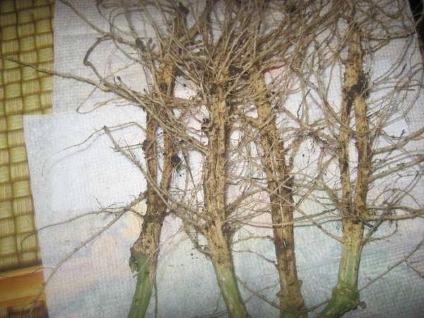 Строение корневой системы огурцов, окучивание и рыхление