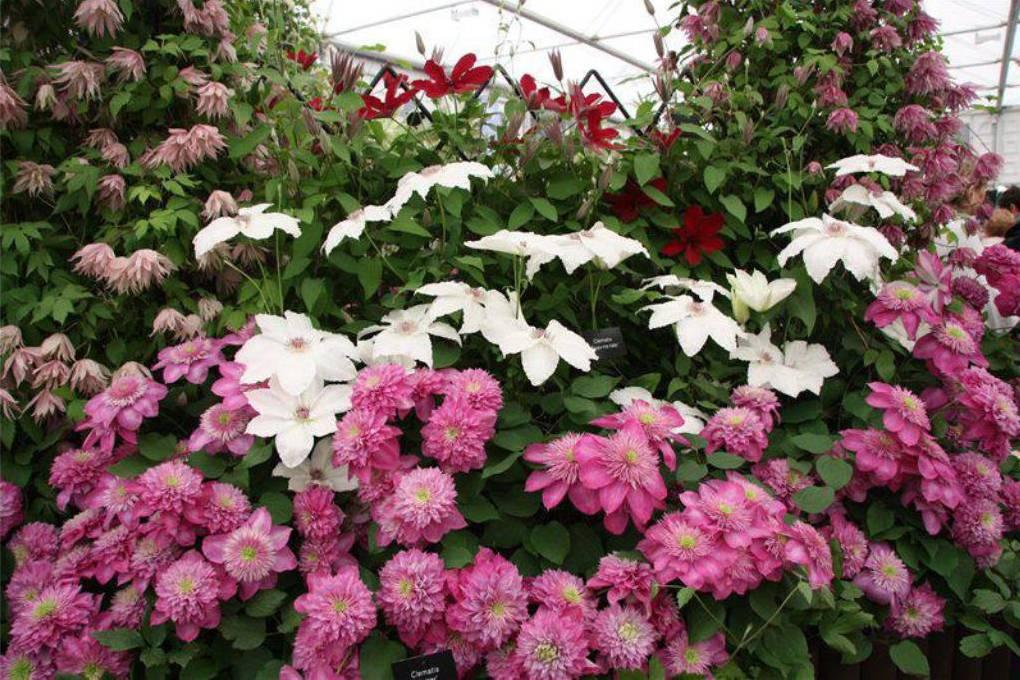 Пересадка клематиса в весенний период