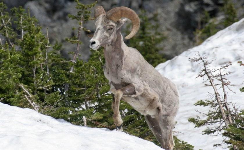 Название горных баранов и как они выглядят, где обитают и чем питаются