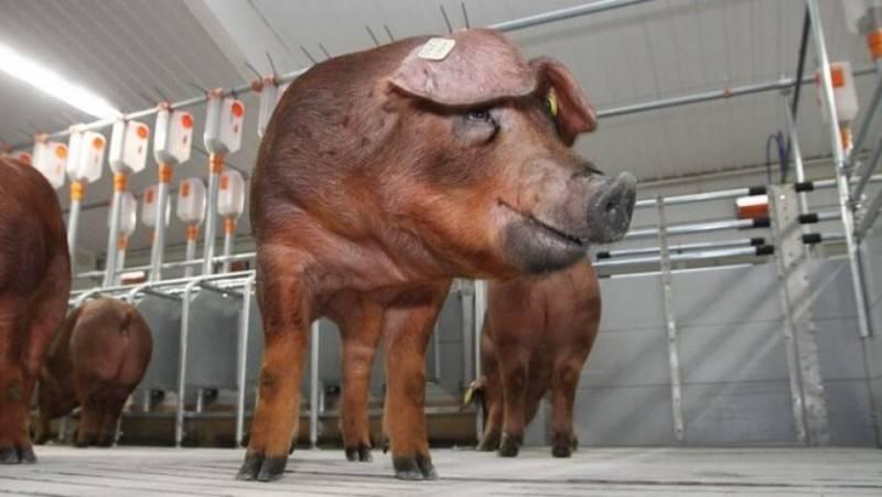 Описание и характеристика свиней породы дюрок