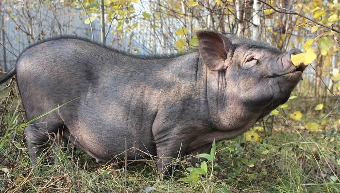 Вьетнамские свиньи: уход и разведение на подворье