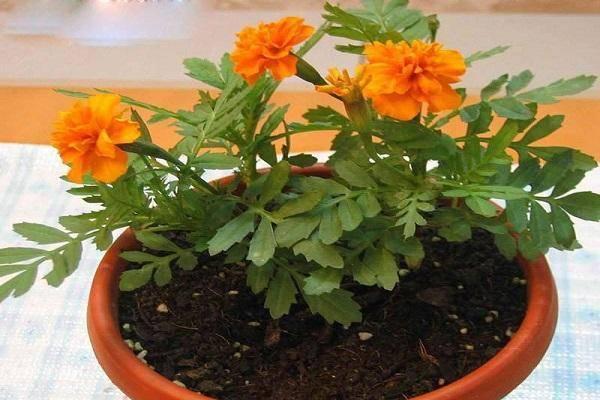 Можно ли бархатцы выращивать дома в горшках: правила ухода зимой