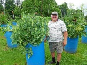 Как выращивать огурцы в бочках: пошаговая инструкция